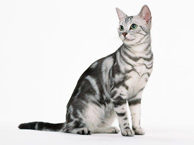 Как содержать котенка-британца