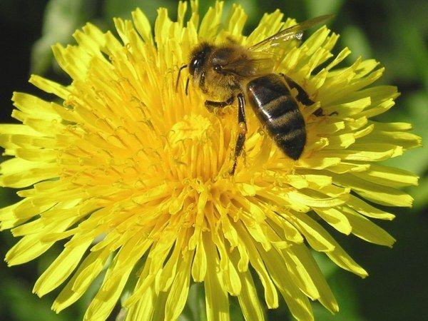 Что произойдет, если исчезнут пчелы