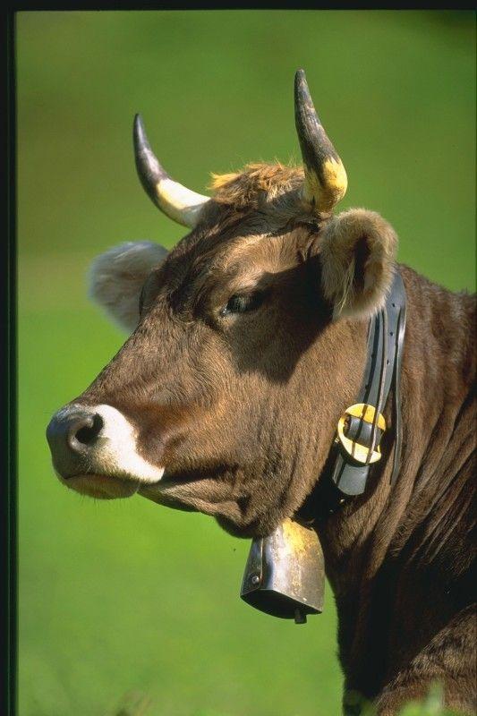 Как кормить быков
