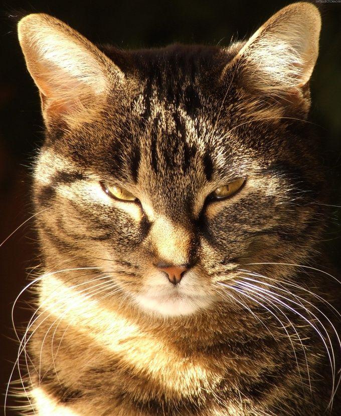 Как колоть уколы коту