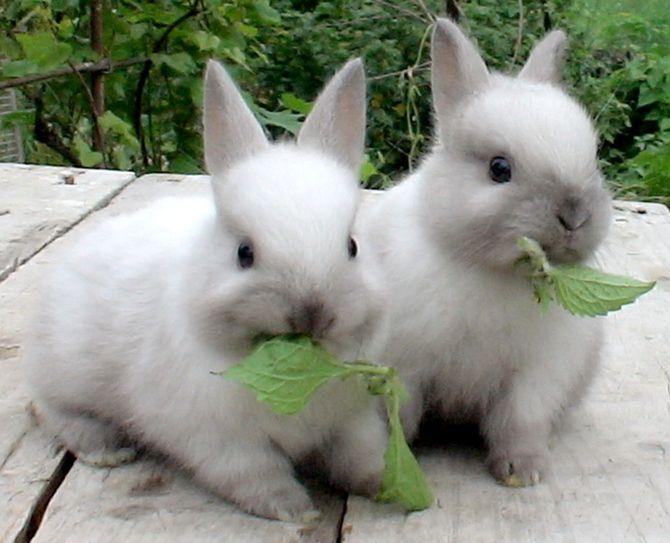 Как кормить декоративных кроликов