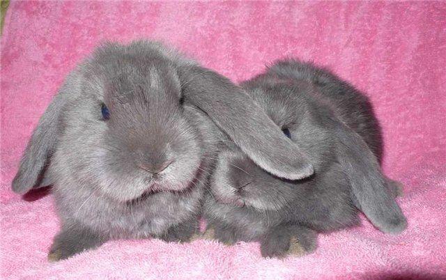 Как отличить кролика от шиншиллы