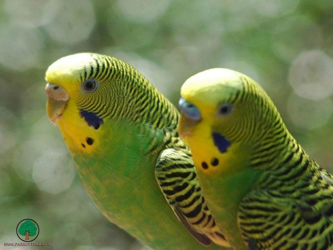 Как лечить волнистого попугая