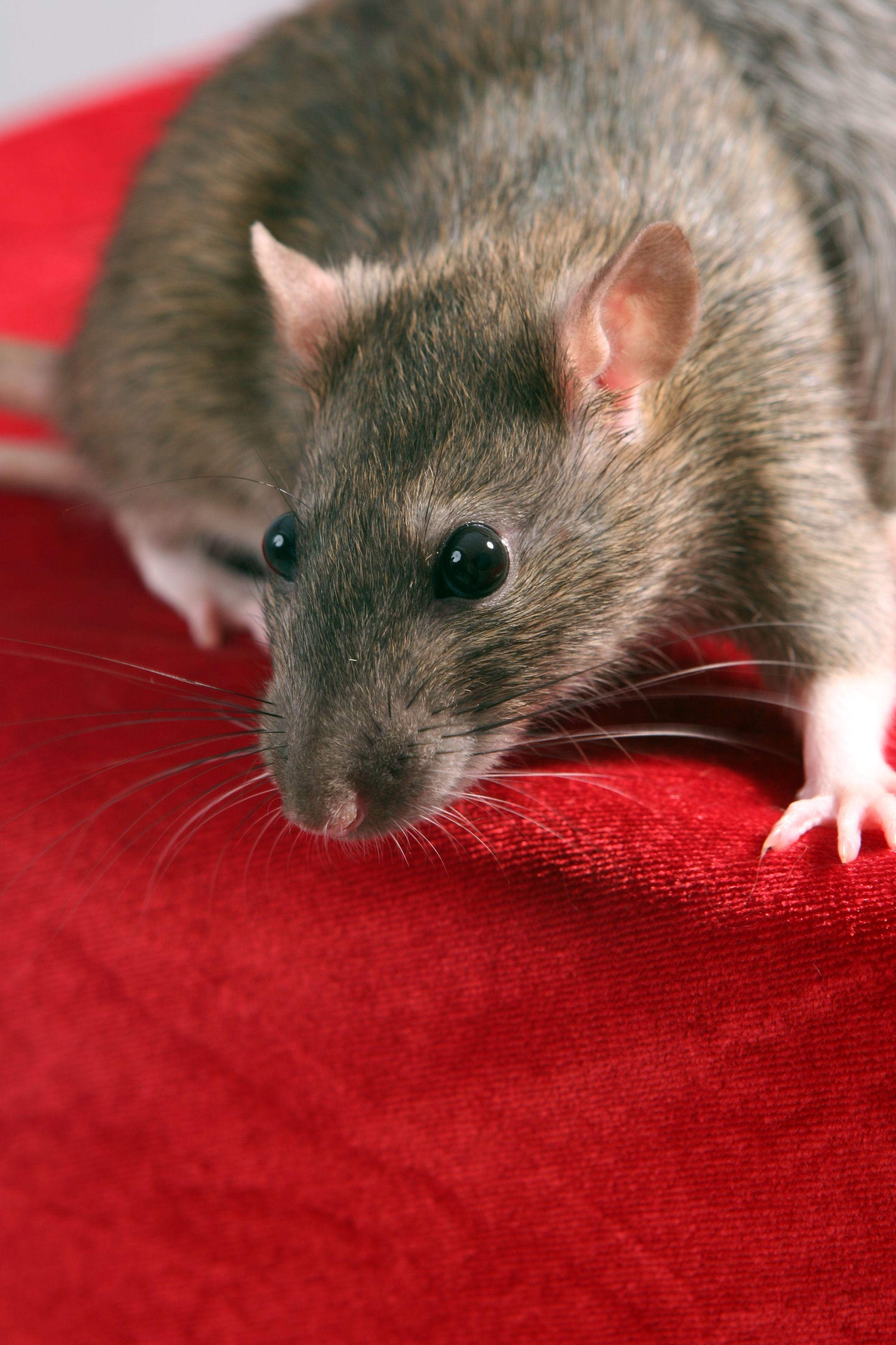 Как мыть крыс
