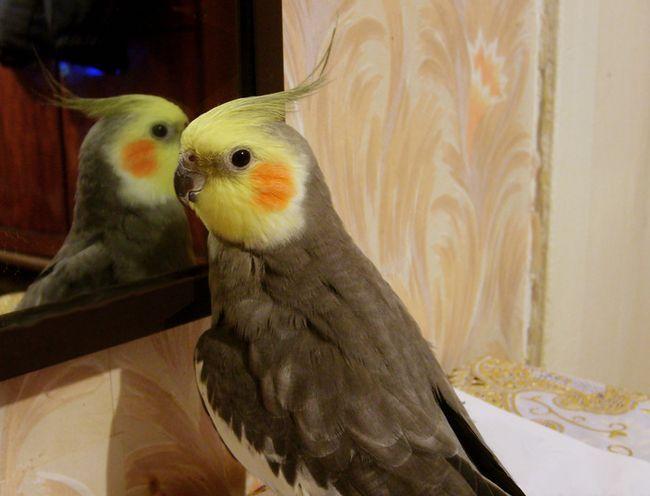 Как научить разговаривать попугая кореллу