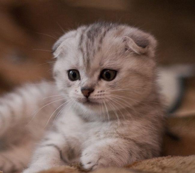 Как назвать вислоухого кота