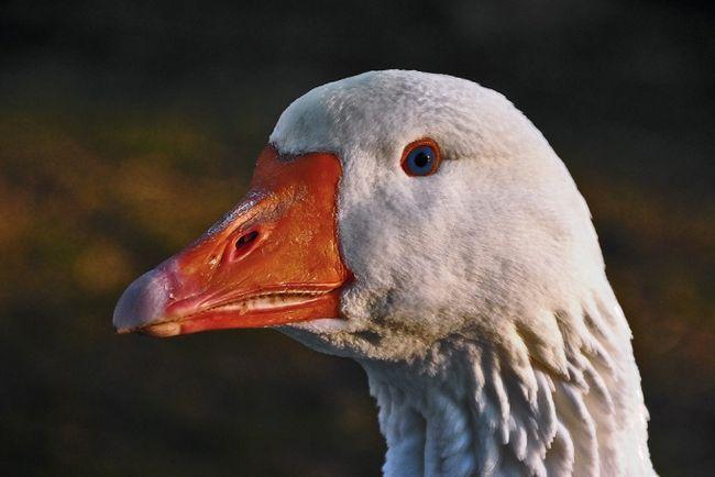 Как определить пол гусей