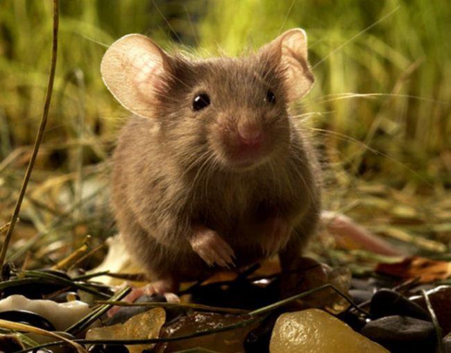 Как определить пол мыши