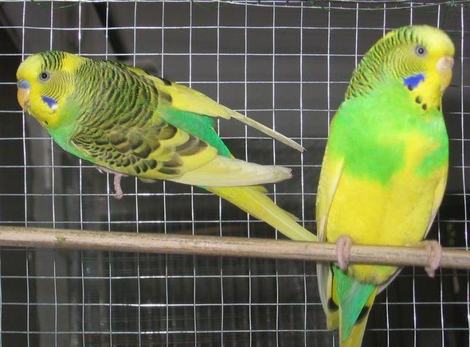 Как узнать, попугай девочка или мальчик