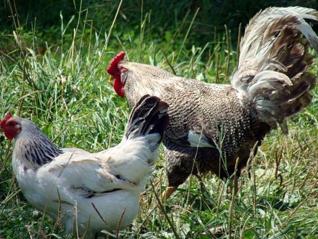 Как отличить петуха от курицы