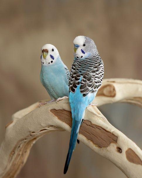 Как отличить пол волнистых попугаев