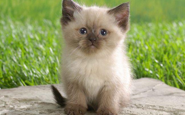 Как перевести котенка на сухой корм