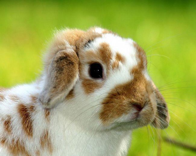 Как починить шкурку кролика