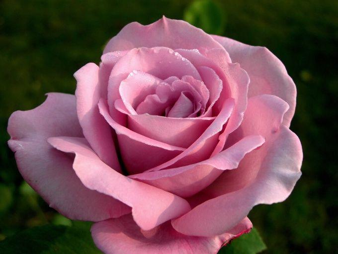 Как подарить розу