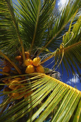 Как посадить кокос