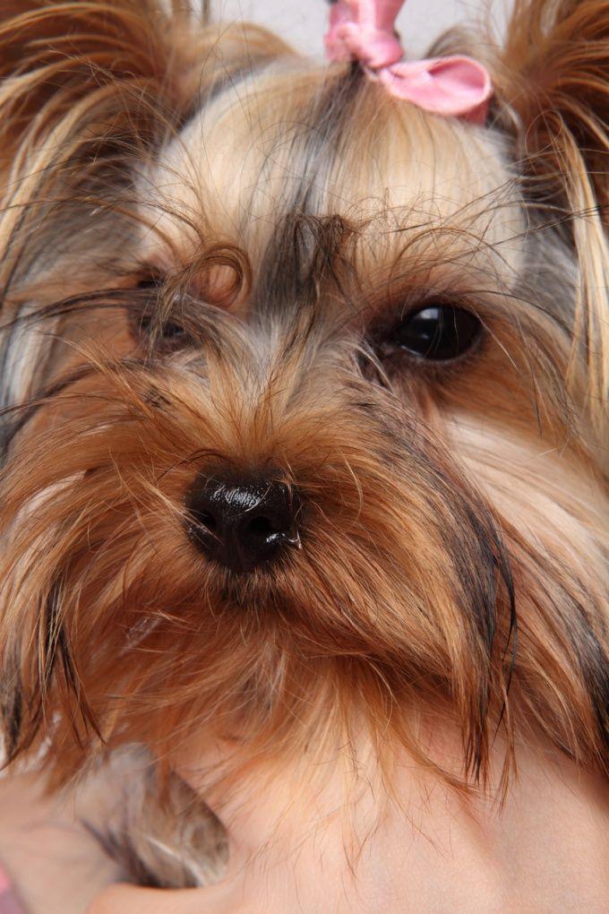 Как поставить одно ухо собаке