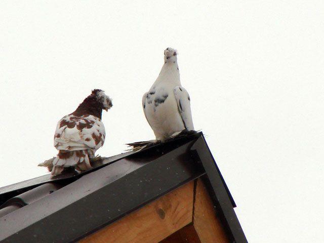 Как построить голубятню
