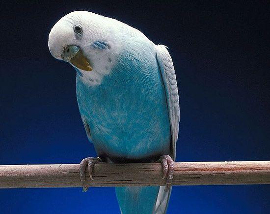 Как приручить волнистого попугайчика