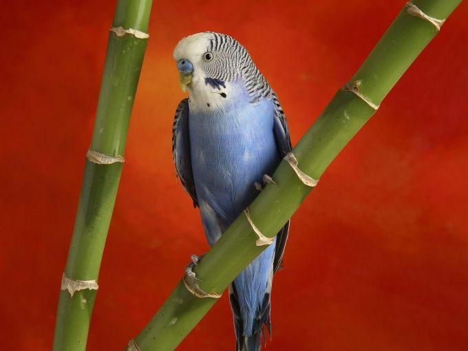Как приручать волнистого попугая