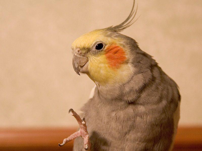 Как приучить попугая к пальцу
