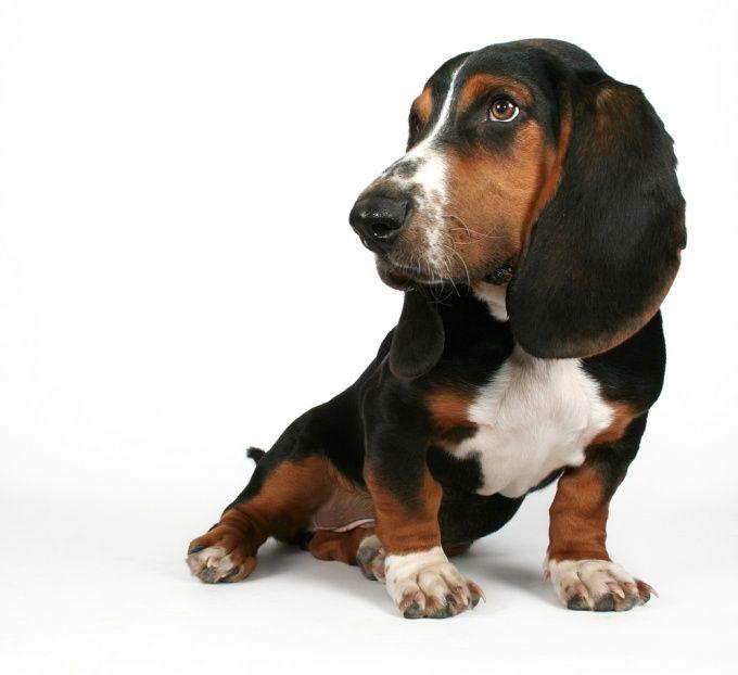 Как приучить щенка таксы к туалету
