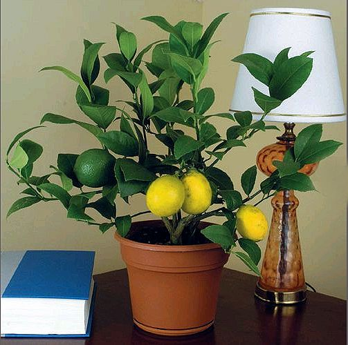 Как прививать лимон