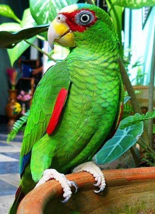Как различить самку попугая