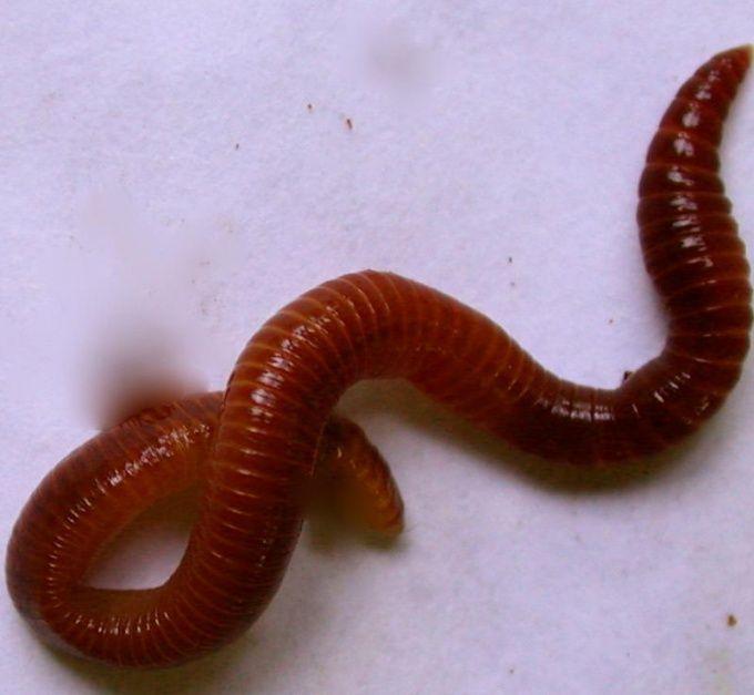 Как разводить калифорнийского червя