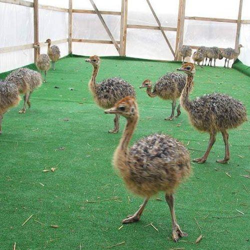 Как разводить страусов