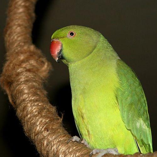Как сделать игрушку для попугая