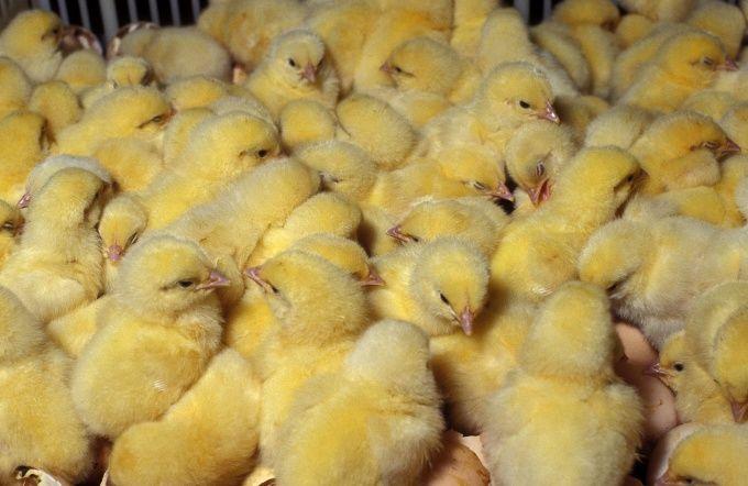 Как сделать клетку для цыплят