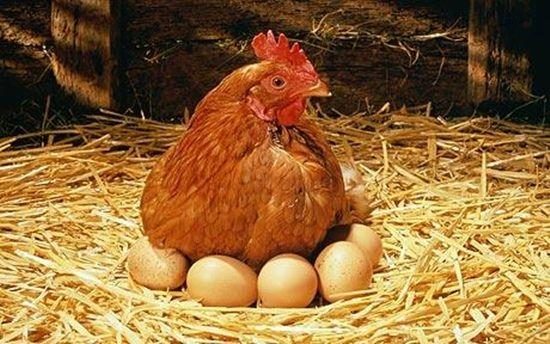Как сделать клетку для куриц
