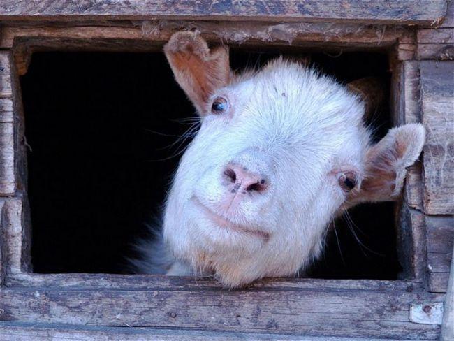 Как сервировать стол на год синей козы