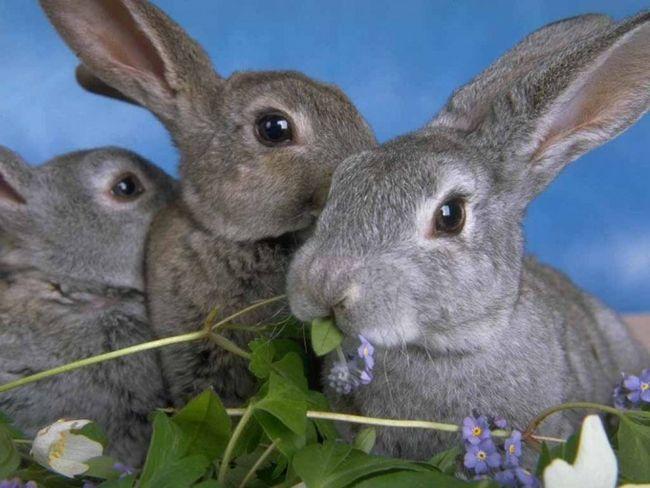 Как случать кроликов