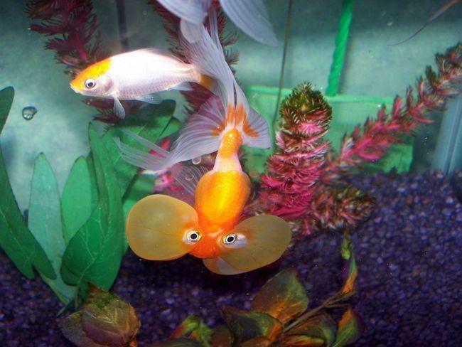 Как содержать аквариумных рыбок