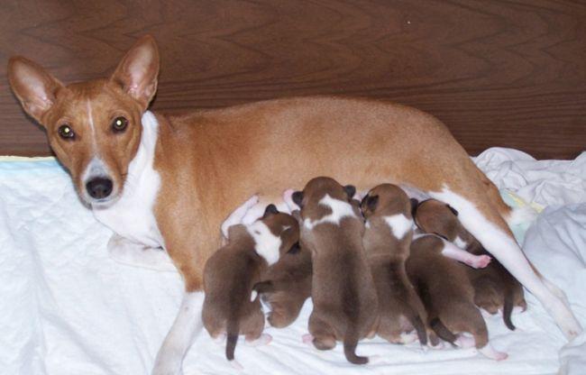 Как определить, беременна ли собака