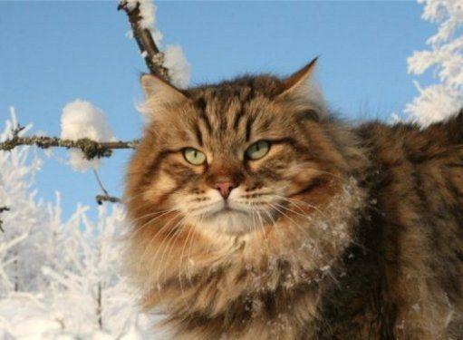 Как ухаживать за беременной сибирской кошкой