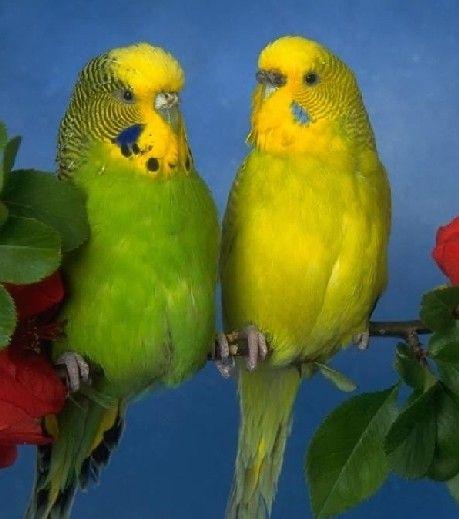 Как узнать пол волнистого попугая