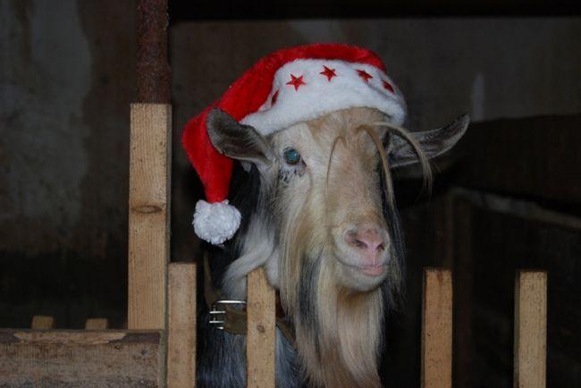 Как встречать год синей деревянной козы