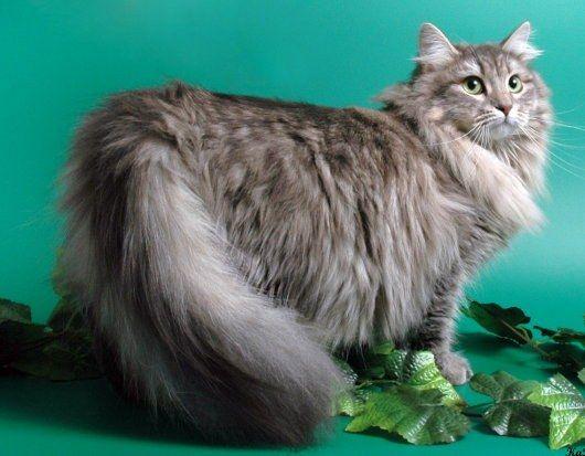 Как выбрать чистокровную сибирскую кошку