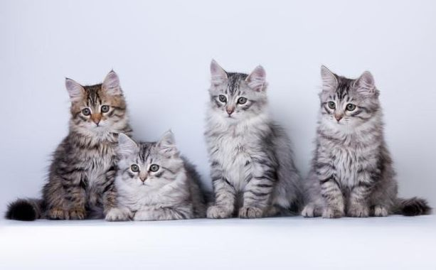 Как выбрать котенка сфинкса
