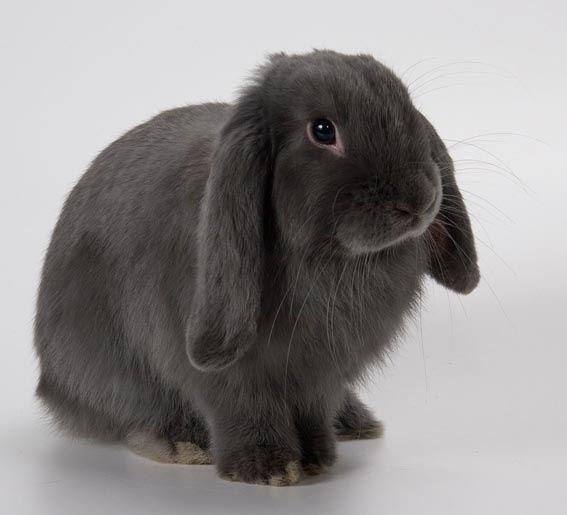 Как содержать декоративных кроликов