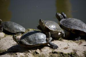 Как вылечить черепаху