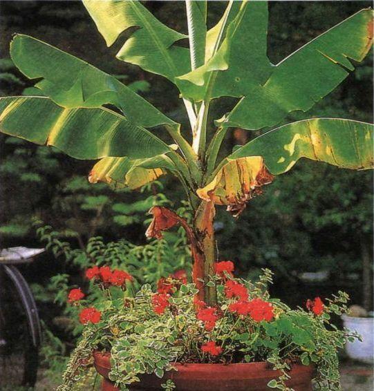 Как выращивать банан
