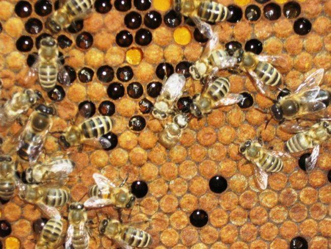 Как завести пчел
