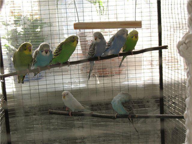 Попугаи: как разводить в неволе
