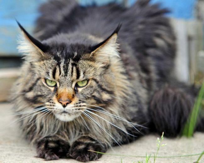 Какая кошка самая большая