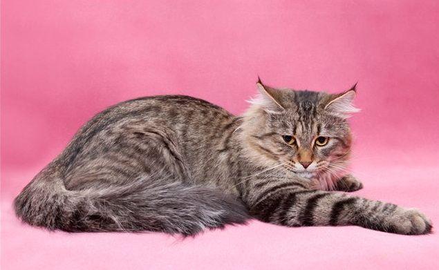Как отличить сибирскую кошку от кошек других пород