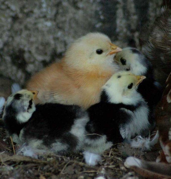Как выращивать цыплят